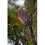 Male Ward's Trogon. Photo by Adam Riley. All rights reserved.