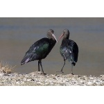 Puna Ibis. Photo by Luis Segura. All rights reserved.