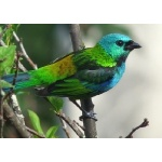 Green-headed Tanager. Photo by Larry Sassaman. All rights reserved.
