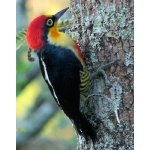 Yellow-fronted Woodpecker. Photo by Larry Sassaman. All rights reserved.