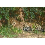 Jaguar. Photo by Rick Taylor. Copyright Borderland Tours. All rights reserved.