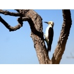 White Woodpecker. Photo by Luis Segura. All rights reserved.