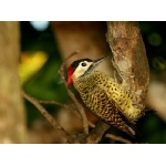Green-barred Woodpecker. Photo by Luis Segura. All rights reserved.