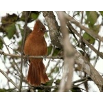 Rufous Cachalote. Photo by Luis Segura. All rights reserved.