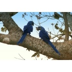 Hyacinth Macaws. Photo by Luis Segura. All rights reserved.