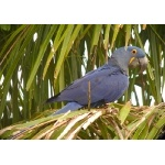 Hyacinth Macaw. Photo by Rick Taylor. Copyright Borderland Tours. All rights reserved.