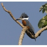 Ringed Kingfisher. Photo by Dave Semler. All rights reserved.
