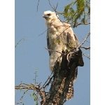 Juvenile Harpy Eagle. Photo by Rick Taylor. Copyright Borderland Tours. All rights reserved.