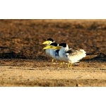 Large-billed Terns. Photo by Luis Segura. All rights reserved.