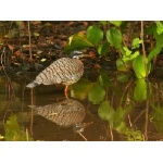Sunbittern. Photo by Rick Taylor. Copyright Borderland Tours. All rights reserved.