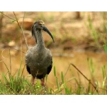 Plumbeous Ibis. Photo by Luis Segura. All rights reserved.