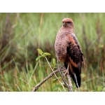 Savanna Hawk. Photo by Luis Segura. All rights reserved.