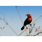 Scarlet-headed Blackbird. Photo by Luis Segura. All rights reserved.