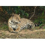 Jaguar. Photo by Rick Taylor. Copyright Borderland Tours. All rights reserved. (1)