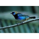 Golden-hooded Tanager. Photo by Rick Taylor. Copyright Borderland Tours. All rights reserved.