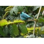 Green Honeycreeper. Photo by Rick Taylor. Copyright Borderland Tours. All rights reserved.