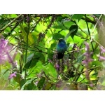 Green Violetear. Photo by Rick Taylor. Copyright Borderland Tours. All rights reserved.