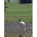 Jabiru in the Río Usumacinta Marshes. Photo by Rick Taylor. Copyright Borderland Tours. All rights reserved.