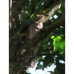 Northern Potoo on day roost. Photo by Rick Taylor. Copyright Borderland Tours. All rights reserved.