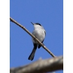 White-lored Gnatcatcher. Photo by Rick Taylor. Copyright Borderland Tours. All rights reserved.