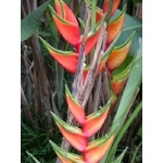 Heliconia Flower. Photo by Charlie Oldham. All rights reserved.