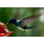 White-necked Jacobin. Photo by Dave Semler and Marsha Steffen. All rights reserved.