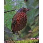 Giant Antpitta. Photo by Paul Cozza. All rights reserved.