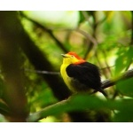 Wire-tailed Manakin. Photo by Dave Semler and Marsha Steffen. All rights reserved.