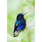 Velvet-purple Coronet. Photo by Dave Semler and Marsha Steffen. All rights reserved.