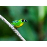 Green-and-gold Tanager. Photo by Dave Semler and Marsha Steffen. All rights reserved.
