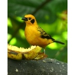 Golden Tanager. Photo by Rick Taylor. Copyright Borderland Tours. All rights reserved.