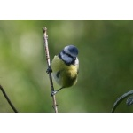 Blue Tit. Photo by Richard Fray. All rights reserved.
