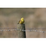 Yellowhammer. Photo by Rob Fray. All rights reserved.