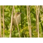 Sedge Warbler. Photo by Andy MacKay. All rights reserved.