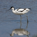 Pied Avocet 2. Photo by Andy MacKay. All rights reserved.