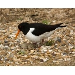 Eurasian Oystercatcher. Photo by Andy MacKay. All rights reserved.