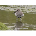 Dunlin. Photo by Richard Fray. All rights reserved.