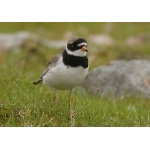 Common Ringed Plover. Photo by Richard Fray. All rights reserved.