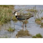 Northern Lapwing. Photo by Andy MacKay. All rights reserved.