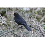Eurasian Blackbird. Photo by Rob Fray. All rights reserved.