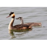 Parent and juvenile Great Crested Grebes. Photo by Ken Billington. Courtesy Wikimedia Commons. All rights reserved.