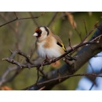 European Goldfinch. Photo by Andy MacKay. All rights reserved.