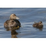 Common Eider hen and her duckling. Photo by Rob Fray. All rights reserved.