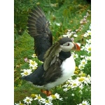 Atlantic Puffin. Photo by Rick Taylor. Copyright Borderland Tours. All rights reserved.