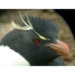 Rockhopper Penguin Portrait. Photo by Rick Taylor. Copyright Borderland Tours. All rights reserved.