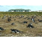 Gentoo Penguins in front of Sea Lion Island Lodge. Photo by Rick Taylor.  Copyright Borderland Tours.  All rights reserved.