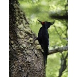 Magellanic Woodpecker. Photo by Dave Semler. All rights reserved.