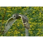 Short-eared Owl in flight. Photo by Rick Taylor. Copyright Borderland Tours. All rights reserved.