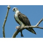 Osprey. Photo by Rick Taylor. Copyright Borderland Tours. All rights reserved.