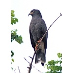Snail Kite. Photo by Rick Taylor. Copyright Borderland Tours. All rights reserved.